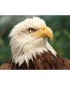 Dieren magneet 3d adelaar