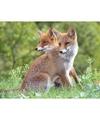Dieren magneet 3d rode vossen